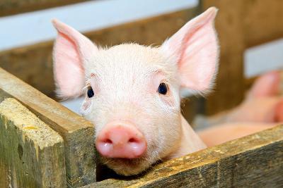 Pig-Baloncici-Photographic Print