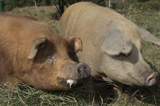 Pig--Photographic Print