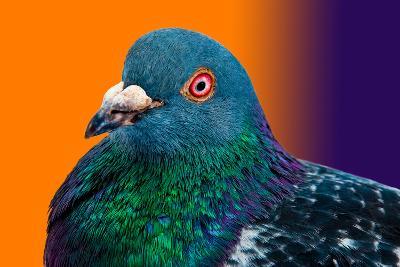 Pigeon close up Portrait Isolated in Color Gradient-Altin Osmanaj-Photographic Print