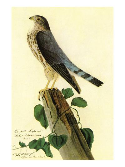 Pigeon Hawk-John James Audubon-Art Print