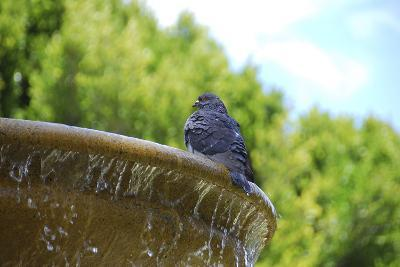 Pigeon on Sausalito Fountain, Marin County, California-Anna Miller-Photographic Print