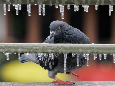 Pigeon Slides Along the Ice in Downtown San Antonio,--Photographic Print