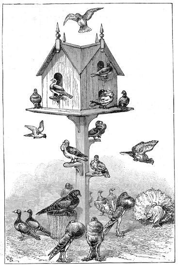 Pigeons Used by Charles Darwin at Down House, Near Beckenham, Kent, England, 1887--Giclee Print