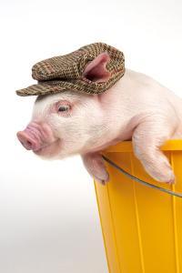 Piglet in a Bucket Wearing a Hat