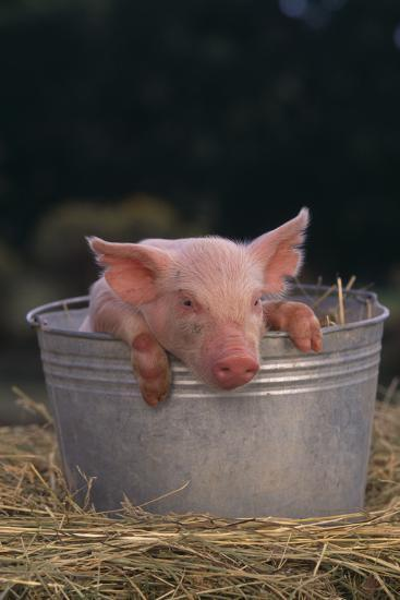 Piglet in a Pail-DLILLC-Photographic Print