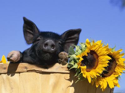 Piglet (Mixed Breed) in Barrel with Sunflower-Lynn M^ Stone-Premium Photographic Print