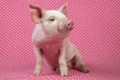Piglet Sitting on Pink Spotty Blanket--Photographic Print