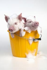 Piglets Sitting in a Bucket Covered in Soap Suds