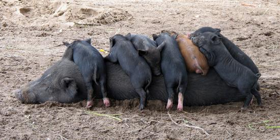 Piglets Sleep on Top of an Adult Pig-Nicole Duplaix-Photographic Print