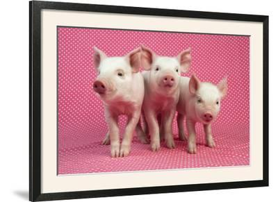 Piglets Standing in a Row on Pink Spotty Blanket--Framed Photographic Print