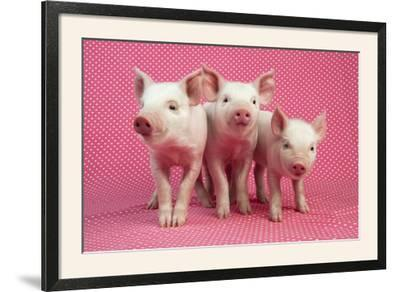 Piglets Standing in a Row on Pink Spotty Blanket