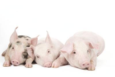Piglets--Photographic Print