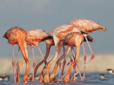 Pigments in Brine Shrimp Give Flamingo Feathers their Coral Hue-Klaus Nigge-Photographic Print