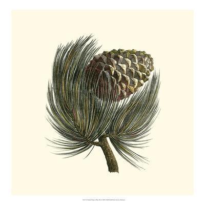 Pignon Pine--Giclee Print