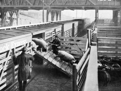 Pigs Arriving at the Chicago Stockyards to Be Converted into Pork Chops and Sausages