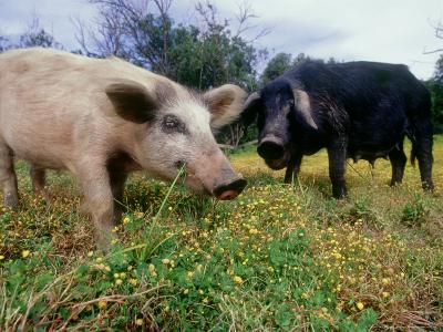 Pigs, Feeding, La Corse, France-Olaf Broders-Photographic Print