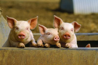 Pigs Piglets X Three Peering over Wall--Photographic Print