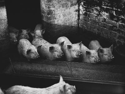 Pigs--Photographic Print
