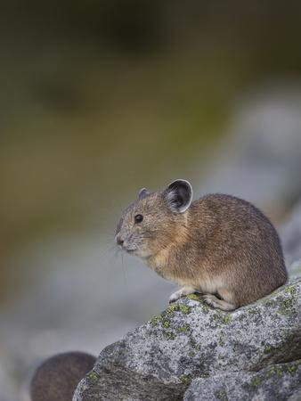 Pika, a Non-Hibernating Mammal Closely Related to Rabbits-Gary Luhm-Photographic Print