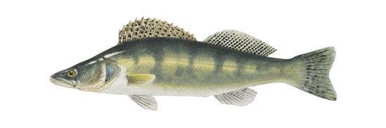 Pike-Perch (Sander Lucioperca), Fishes-Encyclopaedia Britannica-Art Print