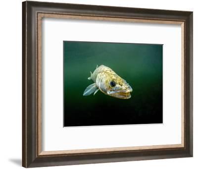 Pikeperch, Sander lucioperca, lake,-Herbert Frei-Framed Photographic Print