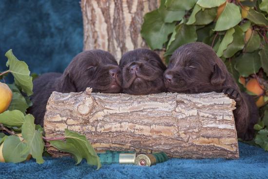 Pile of Sleeping Labrador Retriever Puppies-Zandria Muench Beraldo-Photographic Print
