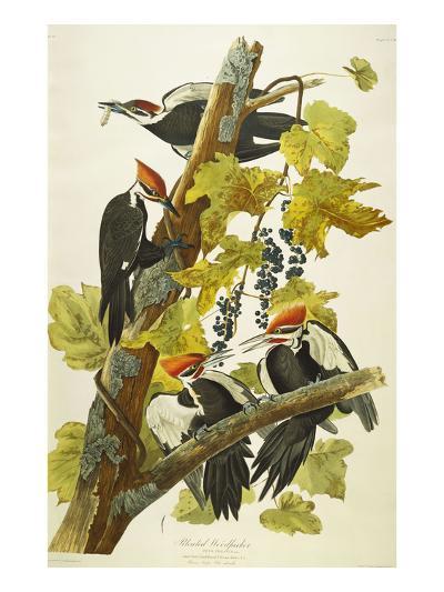 Pileated Woodpecker (Dryocopus Pileatus), Plate Cxi, from 'The Birds of America'-John James Audubon-Giclee Print