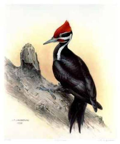 Pileated Woodpecker-James Fenwick Lansdowne-Collectable Print