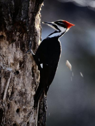 Pileated Woodpecker-Bates Littlehales-Photographic Print