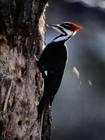 https://imgc.artprintimages.com/img/print/pileated-woodpecker_u-l-p3jdin0.jpg?p=0