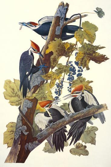 Pileated Woodpecker-John James Audubon-Art Print