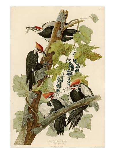 Pileated Woodpecker-John James Audubon-Giclee Print