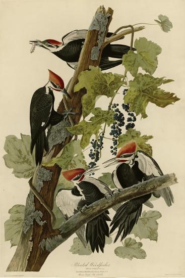 Pileated Woodpecker--Giclee Print