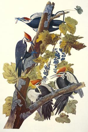 https://imgc.artprintimages.com/img/print/pileated-woodpecker_u-l-q1ga2q50.jpg?p=0