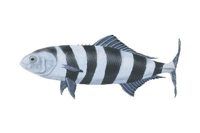 Pilot Fish (Naucrates Ductor), Fishes-Encyclopaedia Britannica-Art Print