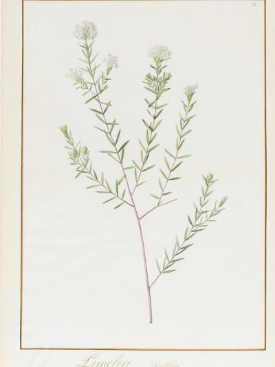 Pimelea Linifolia, 1812-Pierre Joseph Redoute-Giclee Print
