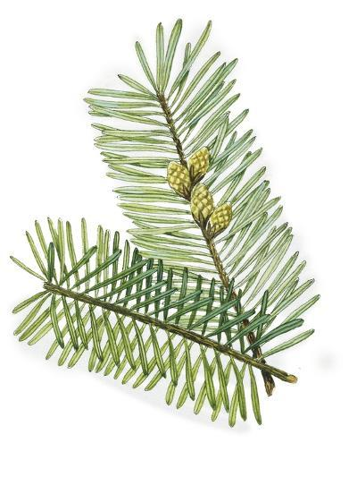 Pinaceae Leaves and Cones of European Silver Fir Abies Alba--Giclee Print