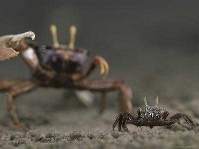 Pincer Claw of a Full-Size Ghost Crab Moves toward a Juvenile Crab-Michael Nichols-Photographic Print