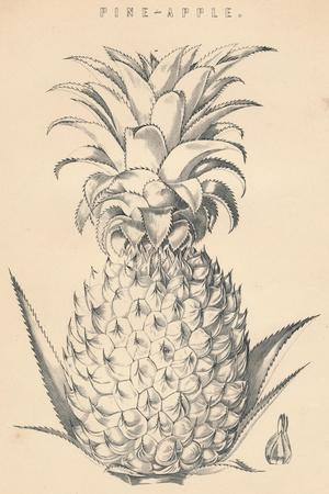 'Pine-Apple', c19th century-Unknown-Framed Giclee Print