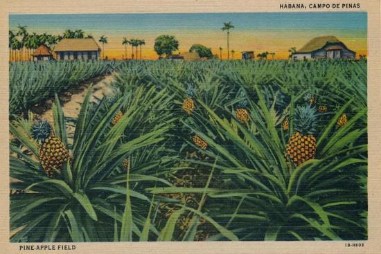 'Pine-Apple Field - Habana, Campo De Pinas', c1910-Unknown-Giclee Print