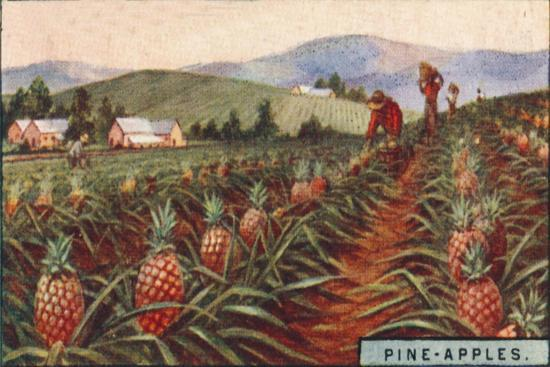 'Pine-apples. - Gathering the Fruit, Hawaii', 1928-Unknown-Giclee Print