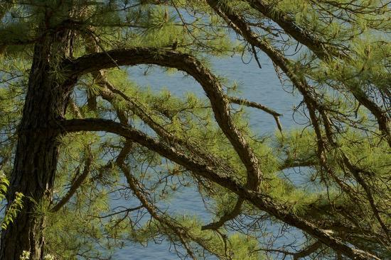 Pine branches frame the waters of Walden Pond.-Tim Laman-Photographic Print