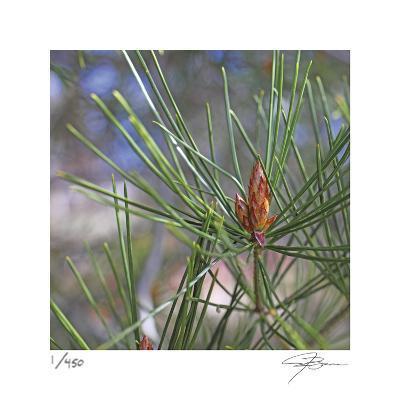 Pine Bud-Ken Bremer-Limited Edition