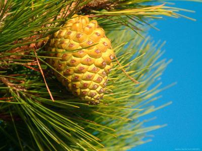 Pine Cone in Tree, New Zealand-William Sutton-Photographic Print