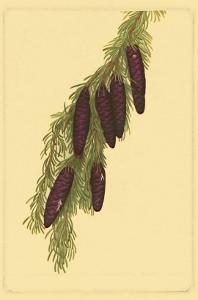 Pine Cone Pl. 267