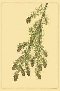 Pine Cone Pl. 268