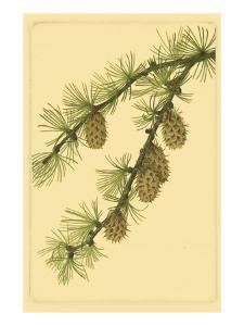 Pine Cone Pl. 269