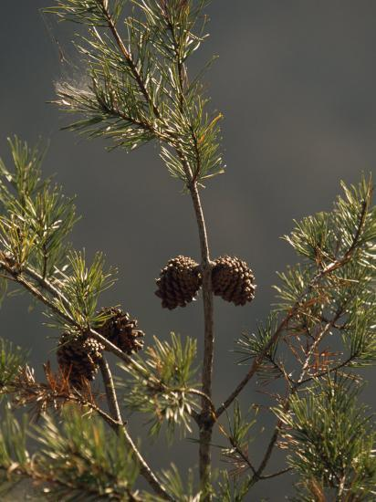 Pine Cones at the Top of a Small Pine Tree-Raymond Gehman-Photographic Print