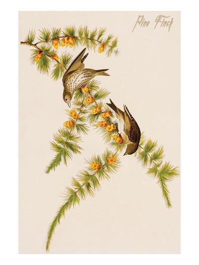 Pine Finch-John James Audubon-Art Print