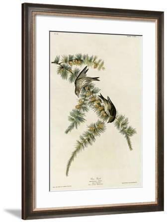Pine Finch--Framed Giclee Print
